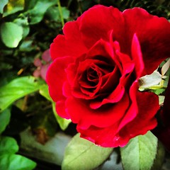 #iphoneography #photograph #flower #redroses #beautiful #wonderful ( @debbyuta ) (riezVE) Tags: square squareformat hefe iphoneography instagramapp uploaded:by=instagram