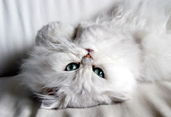 Hey! You're Upside-Down! (krissen) Tags: pets cat persian leo upsidedown chinchilla topsyturvy leopold