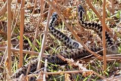 Dancing Adders (Jenny Brewster) Tags: snake wildlife lincolnshire british adder dancingadders