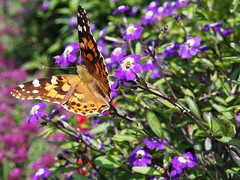 Painted Lady Butterfly (CH-Scenes) Tags: flowers butterfly garden purple amethyst browallia alyssum paintedlady annuals nectaring