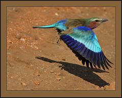 Lilac-breasted Roller immature in flight (Rainbirder) Tags: kenya lilacbreastedroller tsavowest coraciascaudatus rainbirder