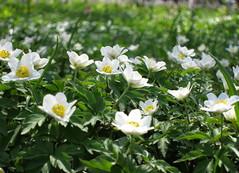 poczuj wiosn  :))) (ela_s) Tags: spring krakw wiosna zawilec ogrdbotaniczny zawilecgajowy canons90