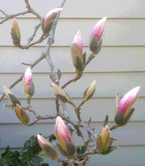 Buds on Magnolia (Posterized Photo) (randubnick) Tags: art photography photograph painter buds magnoliatree magnoliabuds posterizedphoto painter12