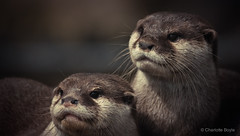 Otters (CharlotteBoyleMedia) Tags: fur mammal eyes whiskers otters snout chesterzoo 400mm animalhead canon550d