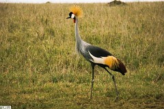 """I want to be anarchy"" - Crowned Crane - Serengeti - Tanzania - Africa (TLMELO) Tags: africa park family wild portrait mars food baby white elephant black bird kilimanjaro branco mom tanzania freedom twilight buffalo bravo alone fighter afternoon african comida poor hunting ivory free preto famlia ostrich safari mount national ave angry zebra chase avestruz soledad monte pobre tribe impala serengeti marte hunt tribo solido topi elefante entardecer crownedcrane selvagem africana africano elefanta savana veado marfim caa lonelines camelbird mygearandme kilimanjaromount groudourado"