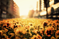 light immersion (ewitsoe) Tags: street flowers light sunset plants 35mm spring nikon downtown glow warmth poland sunny poznan springseason explosionoflight d80