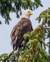 Bald Eagle (orencobirder) Tags: birds largebirds eagles flickrexport