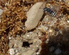 Afranthidium carduele  ?  +nest (bego vega) Tags: madrid macro animal insect nest bee abeja nido vega vf bv bego insecto hymenoptera apoidea himenoptero campirri afranthidium anthidinii carduele