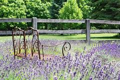 Garden Bench (judymtomlinson) Tags: trees fence garden bench landscape nikon scenery purple scenic lavender ontariocanada steedlavender