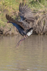 Australasian swamp hen (crispy1612) Tags: australasian swamphen sumsion gardens wodonga take off landing birds flight
