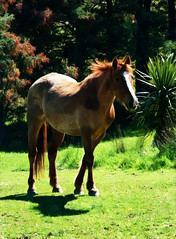 Wind Through Her Hair (Steve Taylor (Photography)) Tags: animal horse newzealand nz southisland canterbury bankspeninsula grass trees sunny sunshine main littleriver