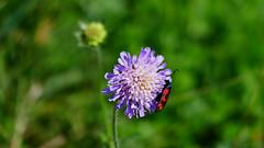 rafz_17_22082015_14'53 (eduard43) Tags: flower blume 2015 natur nature fiori fleur feuerwanze pyrrhocoridae rotklee