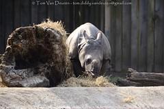 Indische Neushoorn - Rhinoceros unicornis - Indian rhinoceros (MrTDiddy) Tags: indische neushoorn rhinoceros unicornis indian zoogdier neus hoorn mammal rhino mannelijk male qabid kalf calf young jong zoon son dierenparkplanckendael dierenpark planckendael mechelen muizen