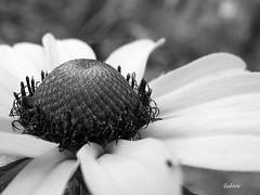 Black Eyed Susan (SteveFromOhio) Tags: blackeyedsusan blackandwhite flower nature macro toledometroparks oakopenings
