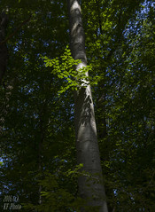 Beech in Spotlight (KF-Photo) Tags: bltter bltterschatten buche schnbuch trieb