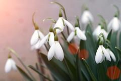 Schneeglckchen (DommyLovesPhotography) Tags: makro schneeglckchen blumen sonnenstrahlen winter