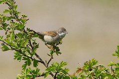 Whitethroat (P_1_B) Tags: cleymarshes cley bird birds birding birdwatching nature wildlife sony sonya77 sonya77ii sigma150500 sigma norfolk nwt norfolkwildlifetrust whitethroat commonwhitethroat