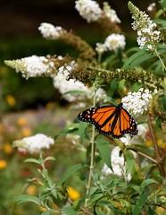 Monarch Butterfly (Adventurer Dustin Holmes) Tags: 2016 nathanaelgreenepark closememorialpark flowers monarchbutterfly butterfly nature monarch whiteflower flower missouri whiteflowers