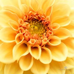 dahlia yellow (piri198) Tags: dahlie dahlia canon eos eosm eosm3 efm 22mm lightroom6 blume flower sommer summer macro makro nahaufnahme quadrat 1x1 gelb yellow