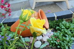 Yellow Roses (Rory Llowarch) Tags: rose roses yellowrose yellowroses yellow rosebush rosegarden rosecane rosecanes petal petals rosepetals plant garden flower rosa plants bloom bloomers sunshine color colorful colour colourful hampshire hampshireengland england beauty beautiful flowers fareham farehamhampshire summer summertime outdoor outside photos photographs photography buds rosebud rosebuds