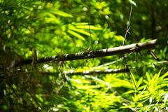 IMG_0593_1 (pavel.milkin) Tags: thailand phangngan tonprai forest leaves tree bamboo gogreen green travel canon canon550d 550d helios helioslens helios442 442 old colour endlesssummer bokeh bokehlicious jungle