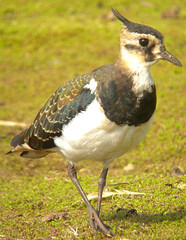 Young Lapwing at Ibsley Water, Hants. (dugwin2) Tags: immature lapwing ibsley water blashford nature reserve hampshire from hide
