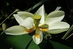 Lotus (Hugo von Schreck) Tags: flower macro makro blume blte lotus hugovonschreck canoneos5dsr tamron28300mmf3563divcpzda010 onlythebestofnature