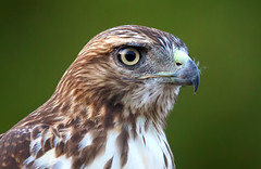 Red Tailed Hawk (Thy Photography) Tags: redtailedhawk wildlife animal bird raptor birdofprey outdoor photography prey fullframe avian