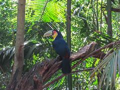 """Le Parc des Oiseaux d'Iguaçu: une 2e sorte de toucan <a style=""""margin-left:10px; font-size:0.8em;"""" href=""""http://www.flickr.com/photos/127723101@N04/29351657910/"""" target=""""_blank"""">@flickr</a>"""