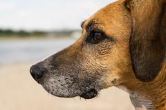 Rocco (neerod81) Tags: hund love reflexionen rhein rhine rocco spaziergang dirty dog eye faithful friend fun outside reflections river sand trust wet