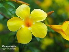 nature flower olympus 50mm f1.8 (everycamera) Tags: olympus 50mm olympus50mm olympus50mmf18 zuikoom zuiko50mm18 em5mark2 em5markii portrait everycamera 50mmf18 bokeh mirrorless มือหมุน เลนส์มือหมุน om มือหมุน50mm มือหมุนolympus มือหมุนโอลิมปัส เลนส์แมนนวล manuallens people outdoor camera flower bright grass blossom bloom garden gardening fresh nature essence scenery vistas plant