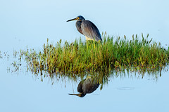 Reflections (Ed Rosack) Tags: grass reflection usa tricoloredheron landscape calm blackpointwildlifedrive centralflorida bird 22bitternsheronsandallies water edrosack panorama merrittislandnationalwildliferefuge swamp florida bpwd egrettatricolor minwr marsh trhe merrittislandnationalwildlife explore