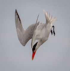 The Dive (tresed47) Tags: 2016 201608aug 20160808bombayhookbirds birds bombayhook canon7d caspiantern content delaware folder peterscamera petersphotos places takenby tern us ngc npc