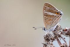 Azur porte queue (Lampides boeticus) (lolo_31) Tags: azurportequeue lampidesboeticuslinnaeus1767 lycaenidae papillondejour polyommatinae rhopalocres