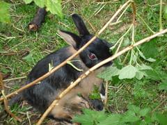 Rabbit in Casies valley (Alto-Adige) (SoniaM (Italian teacher)) Tags: italia italy altoadige valledicasies valpusteria valle valli valley valleys nature natura animals animali animale animal coniglio conigli rabbit rabbits