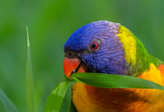 Vegetarian (satochappy) Tags: bird rainbowlorikeet lorikeet australia nsw sydney colourful vegetarian wild wildbird bright animal outdoor parrot