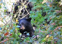 In the Tree ('Dazza' Quarin...back from the Dead) Tags: tree trees britishcolumbia bear bears bearcub bearcubs blackbear canada coquitlam