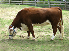 Herford Cow (Photo Squirrel) Tags: cow herford beef cattle halter zoo nationalzoo grazing washingtondc