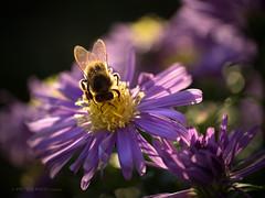 Backlit bee (Petra Ries Images) Tags: kodakanastigmat63mmf27 cinelens bee flower bokeh shallowdepthoffield backlighting