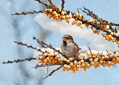 Snowy Morning (Oleksiy & Tetyana) Tags: morning winter snow toronto canada cold bird berry sparrow       flickrsfinestimages1
