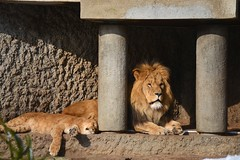 Artis 2013-02-10 at 13-19-17 (Flickr Yourselves) Tags: animals nikon lions fx tamron artis d600 2013