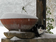 OMG, the Snowstorm Started    (Xena*best friend*) Tags: wood winter wild italy pet cats pets snow cold cute animals fur frozen chats furry woods feline flickr tiger freezing kitty kittens whiskers piemonte gato calico purr meow snowing paws miao snowfall gatto katzen pussycat markings miau feral wildanimals ziva allrightsreserved alleycatallies piedmontitaly canonef70300mm canoneos500d zivadavid eosrebelt1i