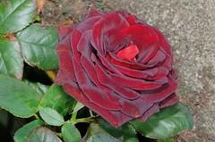 () Tags: rose rosa  rosarugosa   blacklady rosahybrida