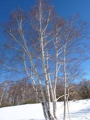Etna - Betulla dell'Etna (Betula aetnensis) (Luigi Strano) Tags: trees italy alberi europa europe italia sicily etna sicilia betulla   tna