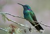 White-Vented Violetear (Colibri serrirostris) (PeterQQ2009) Tags: brazil birds avianexcellence beijaflordeorelhavioleta whiteventedvioletear colibriserrirostris
