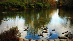 Ducks gather here (socalgal_64) Tags: autumn trees fall nature water reflections river landscape geese rocks stream pennsylvania scenic ducks brush goose pa fowl bushes pictureesque mygearandme blinkagain rememberthatmomentlevel1 bathelehem