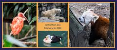 Central Park Zoo - Feb 16, 2013 (Michael.Lee.Pics.NYC) Tags: bear park red newyork bird composite scarlet zoo panda king central ibis aquatic polar waterfowl eider