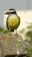 Bentivi na cerca (jeduardofn ~ Brasil) Tags: bird braslia natureza pssaro pitangussulphuratus bentivi