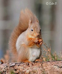 Red Squirrel (Sciurus vulgaris) Explore Feb 22nd  #473 (Col-page) Tags: