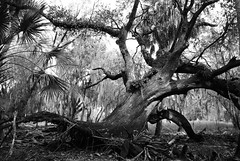Gnarly Oak (scridgeway1) Tags: blackandwhite tree oak florida wildlife sarasota gnarlytree myakkastatepark
